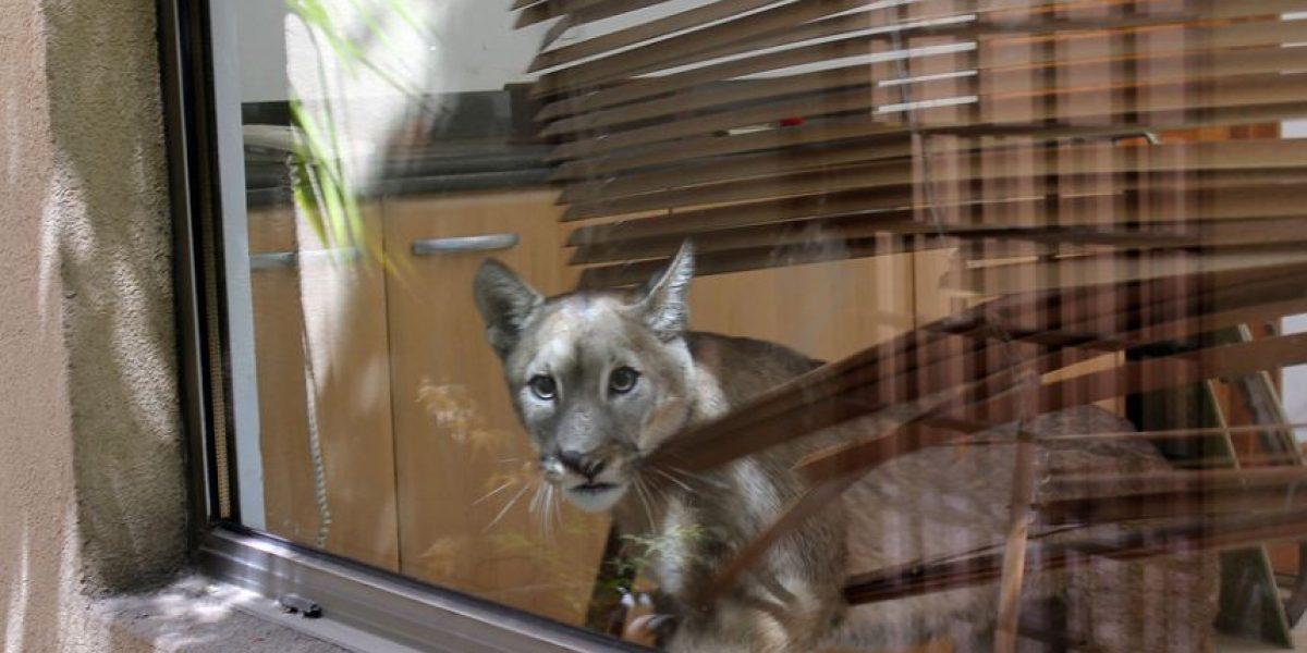 [FOTOS] Se escapó: Buscan intensamente al puma hallado en casa de Lo Curro
