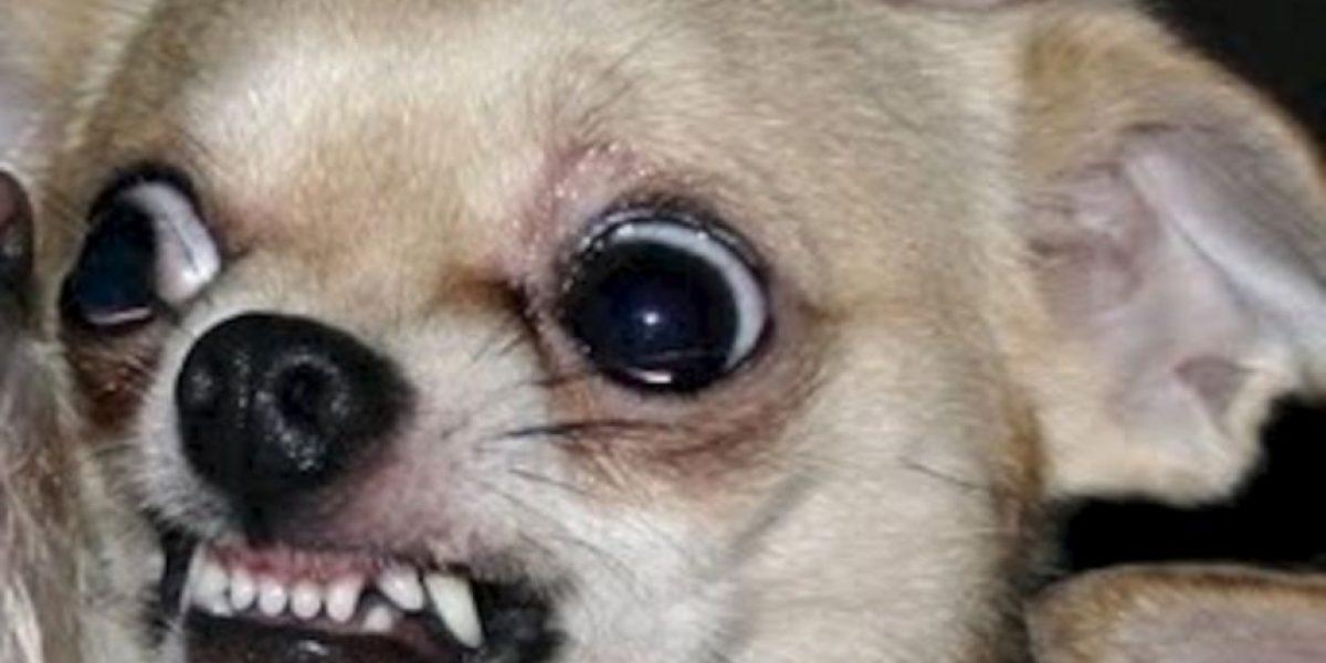 VIDEO: Jauría de perros chihuahua aterroriza pueblo de Arizona