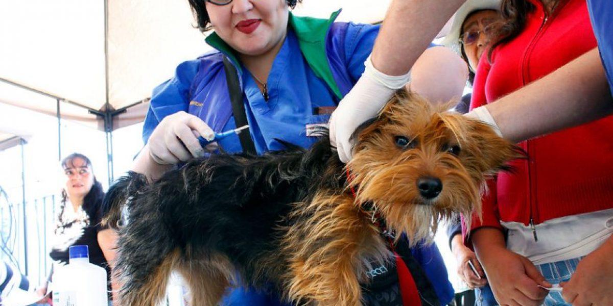 [FOTOS] Concepción: Inician campaña de instalación de microchip en los perros