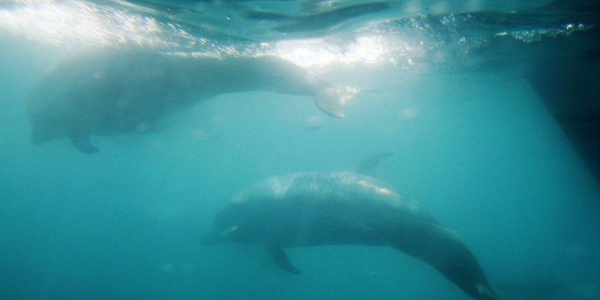 Científicos descubren posible causa de muerte de las ballenas prehistóricas en Chile