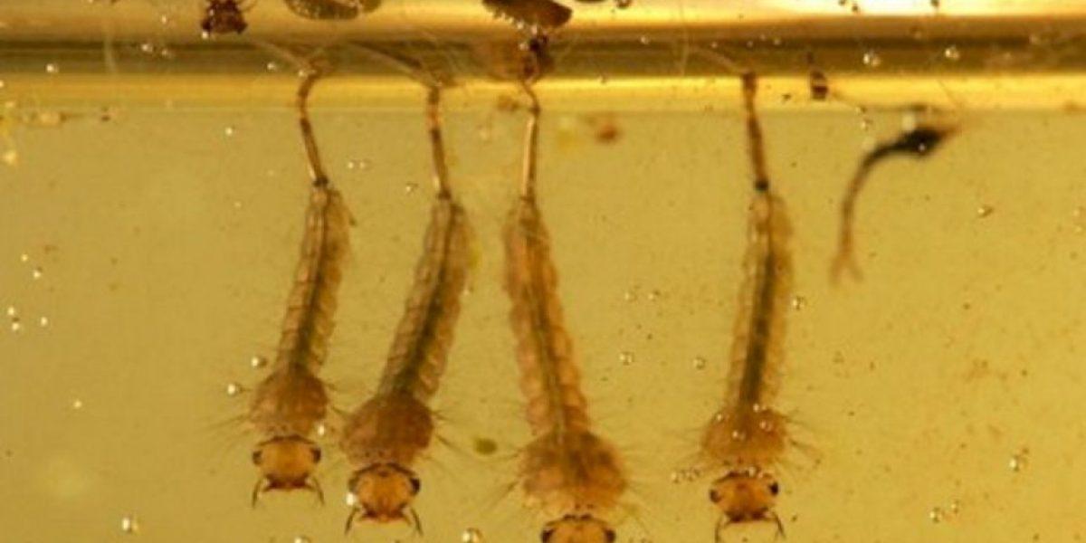 Estas son las enfermedades que puede causar la picadura de un mosquito