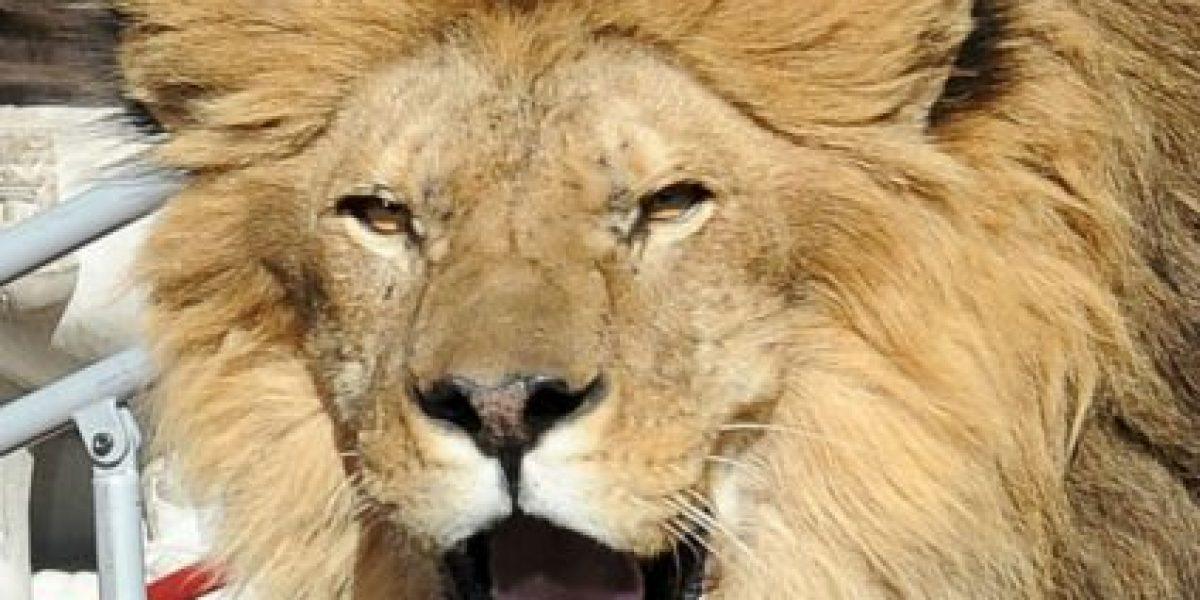 León mata a un niño de siete años en Zimbabue