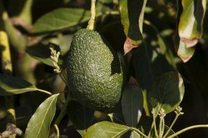 De igual forma, esta fruta ayuda a eliminar el enrojecimiento e inflamación de la piel. Foto:Getty. Imagen Por: