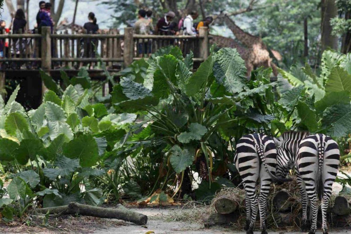 La especie a la que pertenecen las cebras son los équidos Foto:Getty Images. Imagen Por: