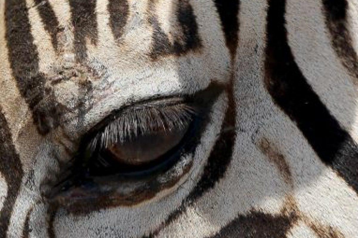 La Universidad de California en Davis, realizó un estudio sobre estos animales Foto:Getty Images. Imagen Por:
