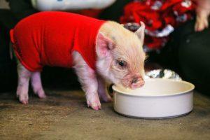 En Francia es ilegal nombrar 'Napoleón' a un cerdo. Foto:Getty. Imagen Por: