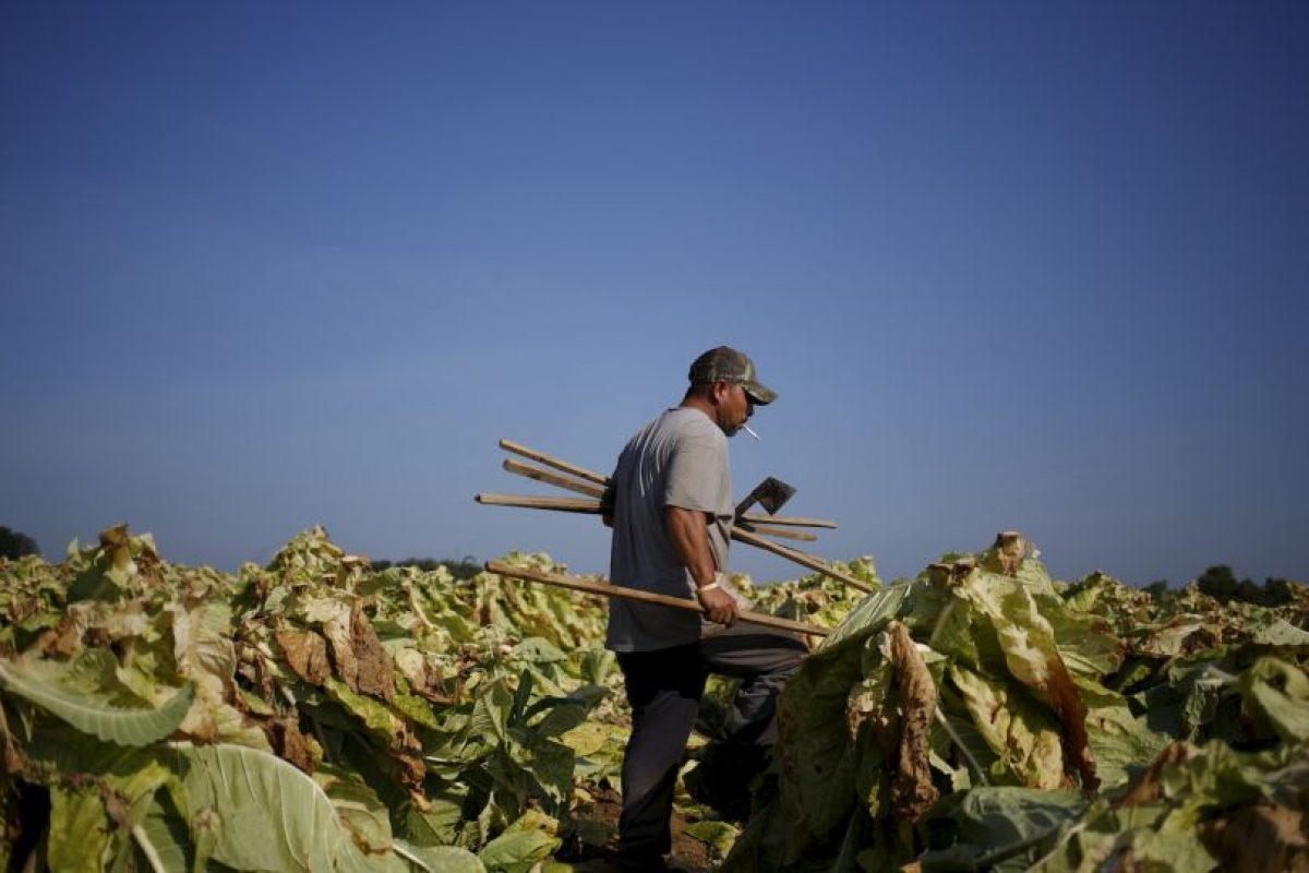 Siembra de tabaco en Kentucky, Estados Unidos Foto:Getty. Imagen Por: