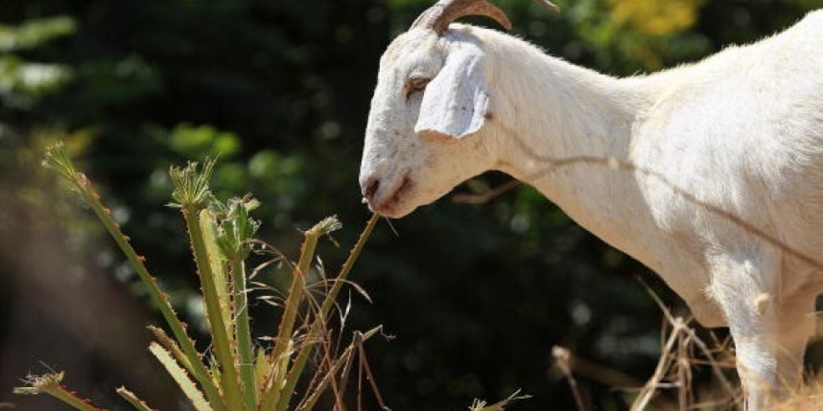 Clonan a cabra que da leche capaz de curar una enfermedad