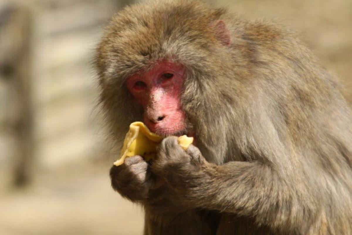 Mono macaco Foto:Getty Images. Imagen Por: