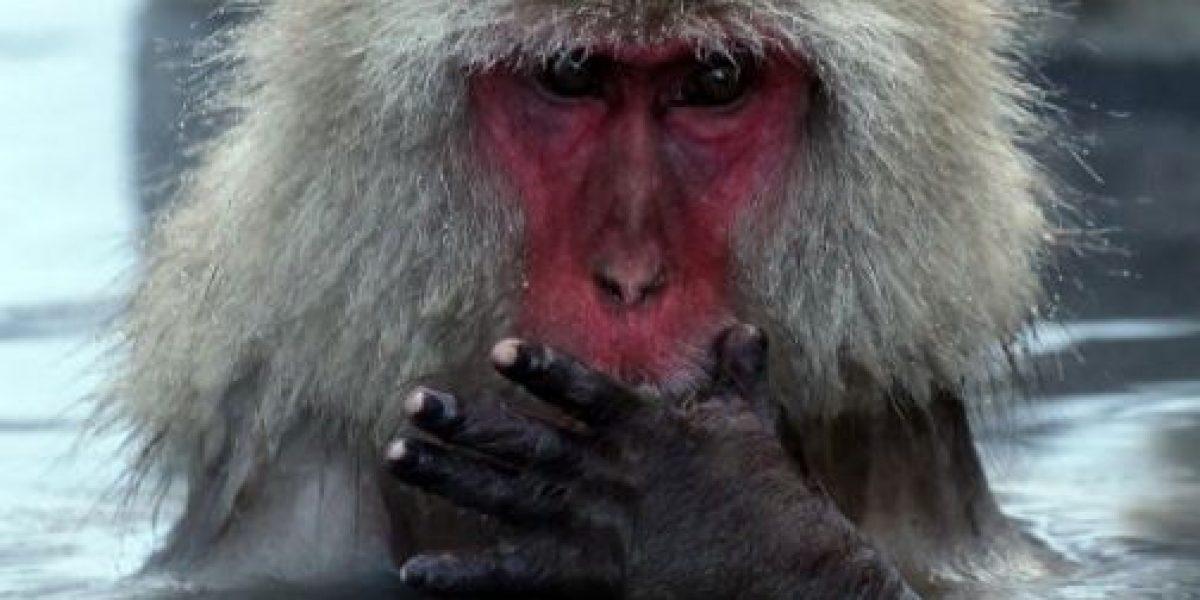 Estudio: monos son capaces de realizar operaciones matemáticas