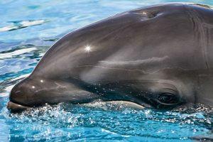 Balfín: Delfín nariz de botella hembra y falsa orca macho. Foto:Wikipedia. Imagen Por: