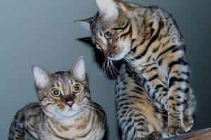 Gato doméstico y gato de bengala Foto:Wikipedia. Imagen Por: