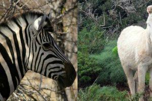 Los papás de Khumba: Un burrito albino y una cebra Foto:Wikipedia. Imagen Por: