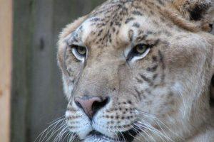 Ligre: León-tigresa. Foto:Wikipedia. Imagen Por: