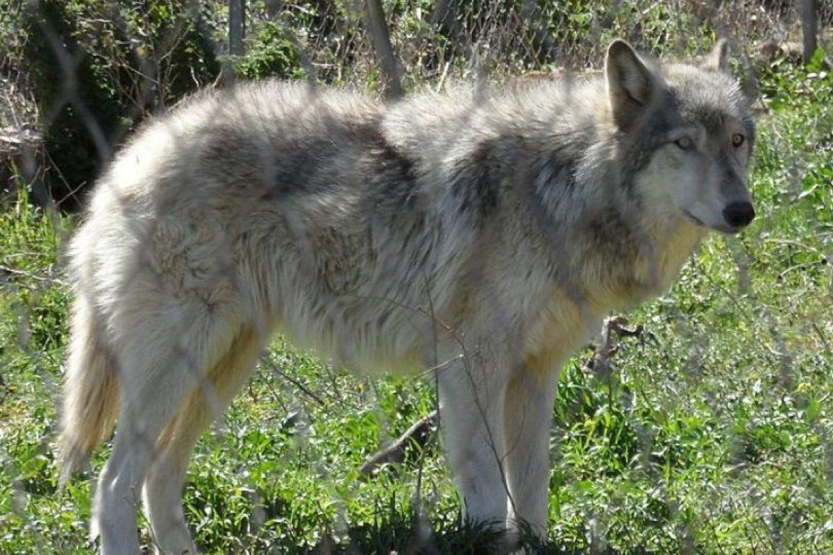 Wolfdog: Perro y lobo europeo. Foto:Wikipedia. Imagen Por: