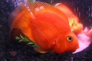 Red Parrot: pez midas y Amphilophus labiatus. Foto:Wikipedia. Imagen Por: