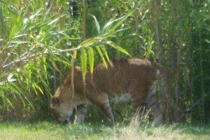 Tigón: Tigre-leona Foto:Wikipedia. Imagen Por: