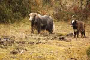 Dzo: Yak macho y vaca doméstica. Foto:Wikipedia. Imagen Por: