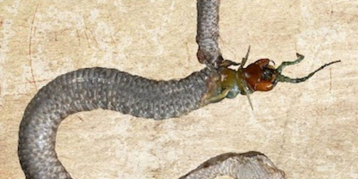 La última cena: Serpiente y cienpiés mueren comiéndose el uno al otro