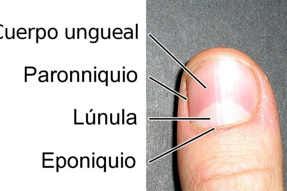 Estas son algunas partes de la uña Foto:Wikipedia.com. Imagen Por: