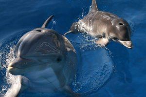 Un grupo de delfines lo acompañó por varios kilómetros Foto:Getty. Imagen Por: