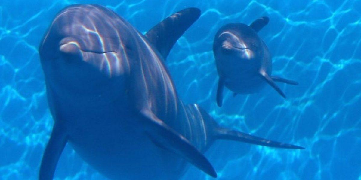 Video: Delfines acompañan a este hombre en su travesía por el mar