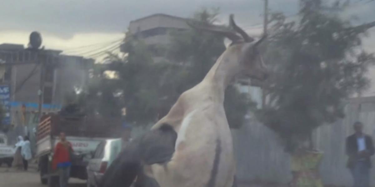 Insólito: Hombre lleva a su cabra en el asiento trasero de su bicicleta
