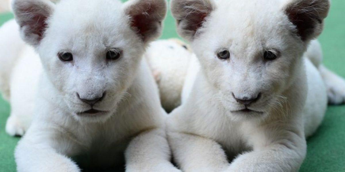 Fotos Los Pequeños Leones Blancos Más Tiernos Del Mundo