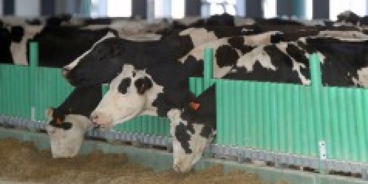 Aunque usted no lo crea: lanzan una web de contactos para vacas y toros