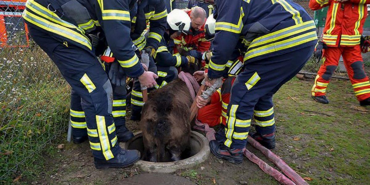 FOTOS: Bomberos rescatan a burro que cayó en coladera