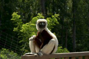 Foto:Facebook: Duke Lemur Center. Imagen Por: