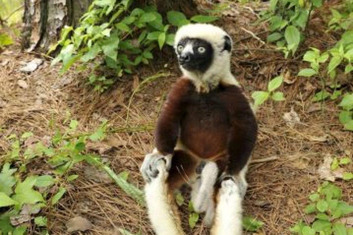 Foto: Facebook: Duke Lemur Center. Imagen Por: