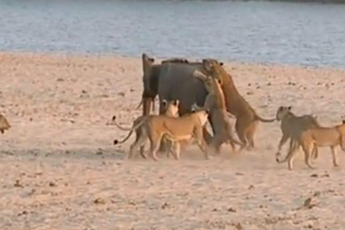 El elefante lucha para no ser devorado, incluso con dos leonas encima Foto:Youtube/Jesse Nash. Imagen Por: