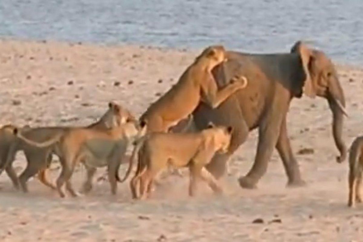 El elefante decide irse al río Foto:Youtube/Jesse Nash. Imagen Por: