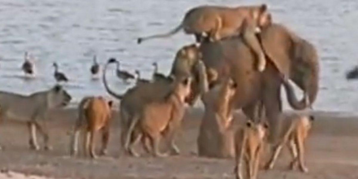 VIDEO: ¡Alucinante! Así escapa elefante bebé de ser devorado por 14 leonas