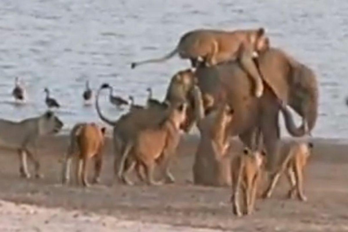 Un bebé elefante es asediado por 14 leonas en el parque ecológico Chinzombo Foto:Youtube/Jesse Nash. Imagen Por: