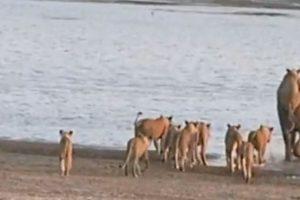 Las leonas no se rinden, van tras él Foto:Youtube/Jesse Nash. Imagen Por: