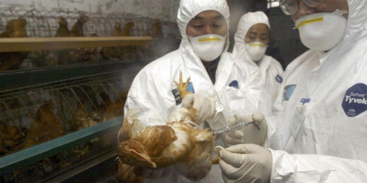 Identifican cepa de gripe aviar en Holanda