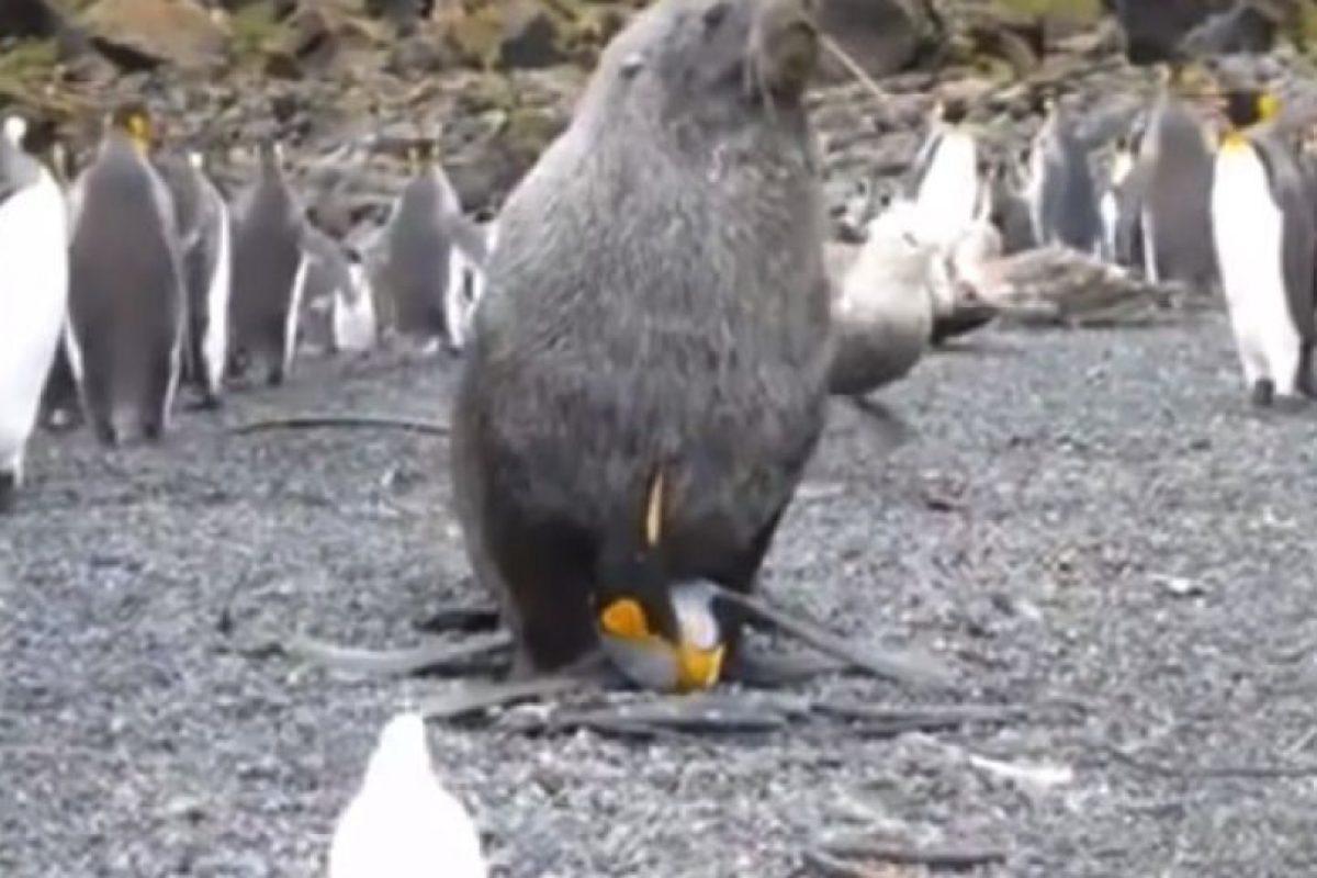 Captan a una foca teniendo sexo con un pinguino Foto:YouTube. Imagen Por: