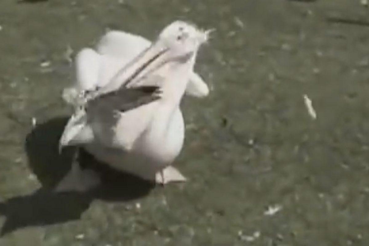 Este pelicano mató a un ave a picotazos Foto:YouTube. Imagen Por: