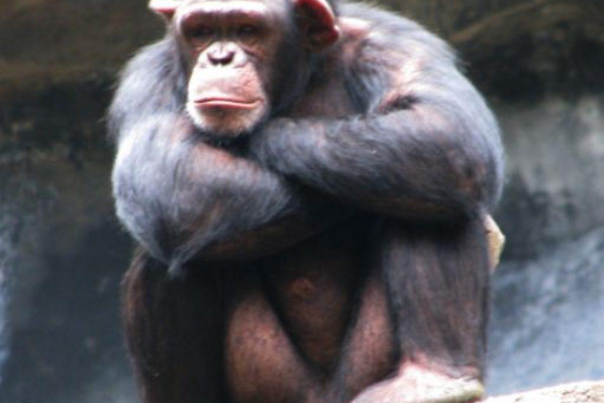 Cuando los chimpancés machos desean aparearse, toman al bebé de la hembra, lo descuartizan y se lo comen frente a ella. Foto:Wikipedia. Imagen Por: