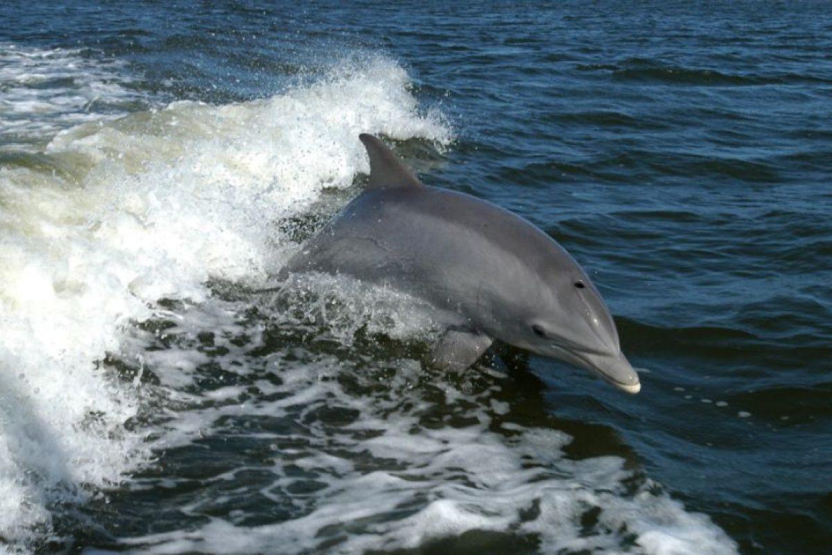 En 2012, se encontraron diversas marsopas muertas con los huesos rotos, según los testigos esto fue obra de algunos delfines nariz de botella. Foto:Wikipedia. Imagen Por: