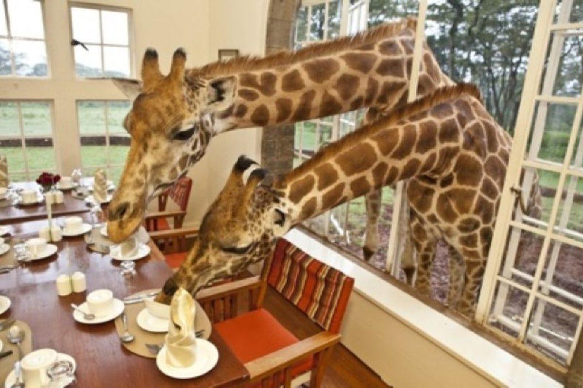 Giraffe Manor, en Kenya. Dormirán al lado de estas gigantes y hermosas criaturas. Foto:Geekology. Imagen Por: