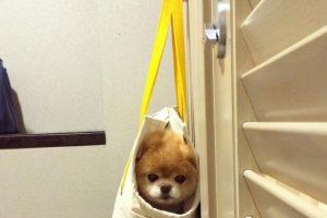 Boo es un perrito que parece oso y tiene más de 16 millones de seguidores en Facebook. Foto: Vía Facebook. Imagen Por: