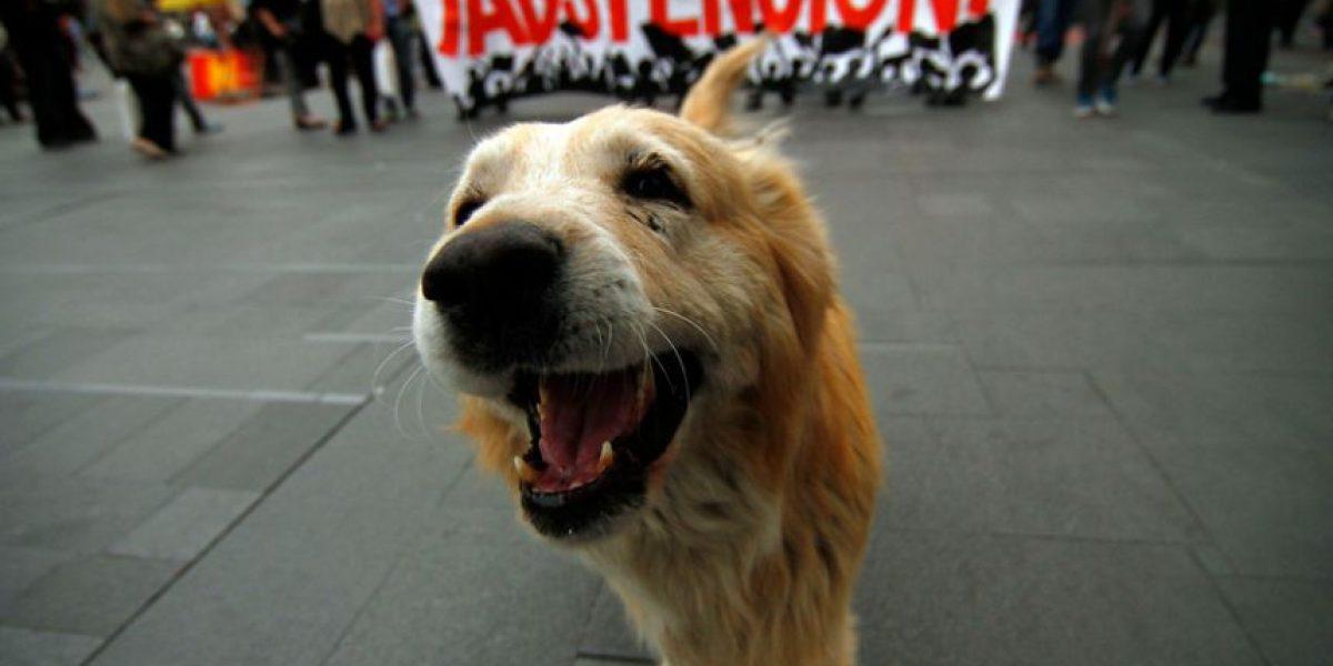 30 fotos que demuestran que a los quiltros les gustan las marchas