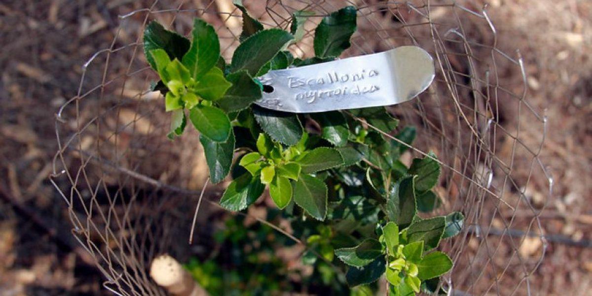 Galería: Así fue cómo se plantaron árboles de especies nativas en el Parque Metropolitano