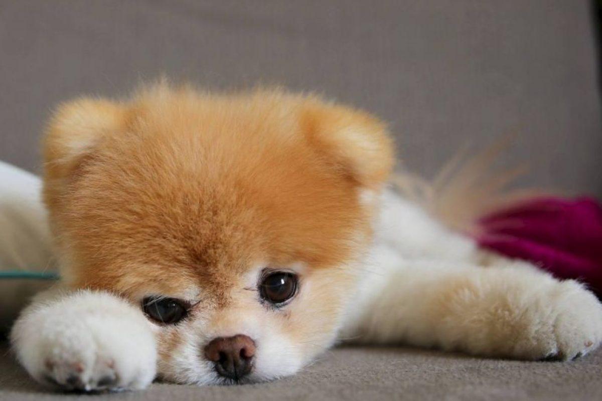 Boo es un perrito que parece oso y tiene más de 16 millones de seguidores en Facebook. Foto:Facebook. Imagen Por: