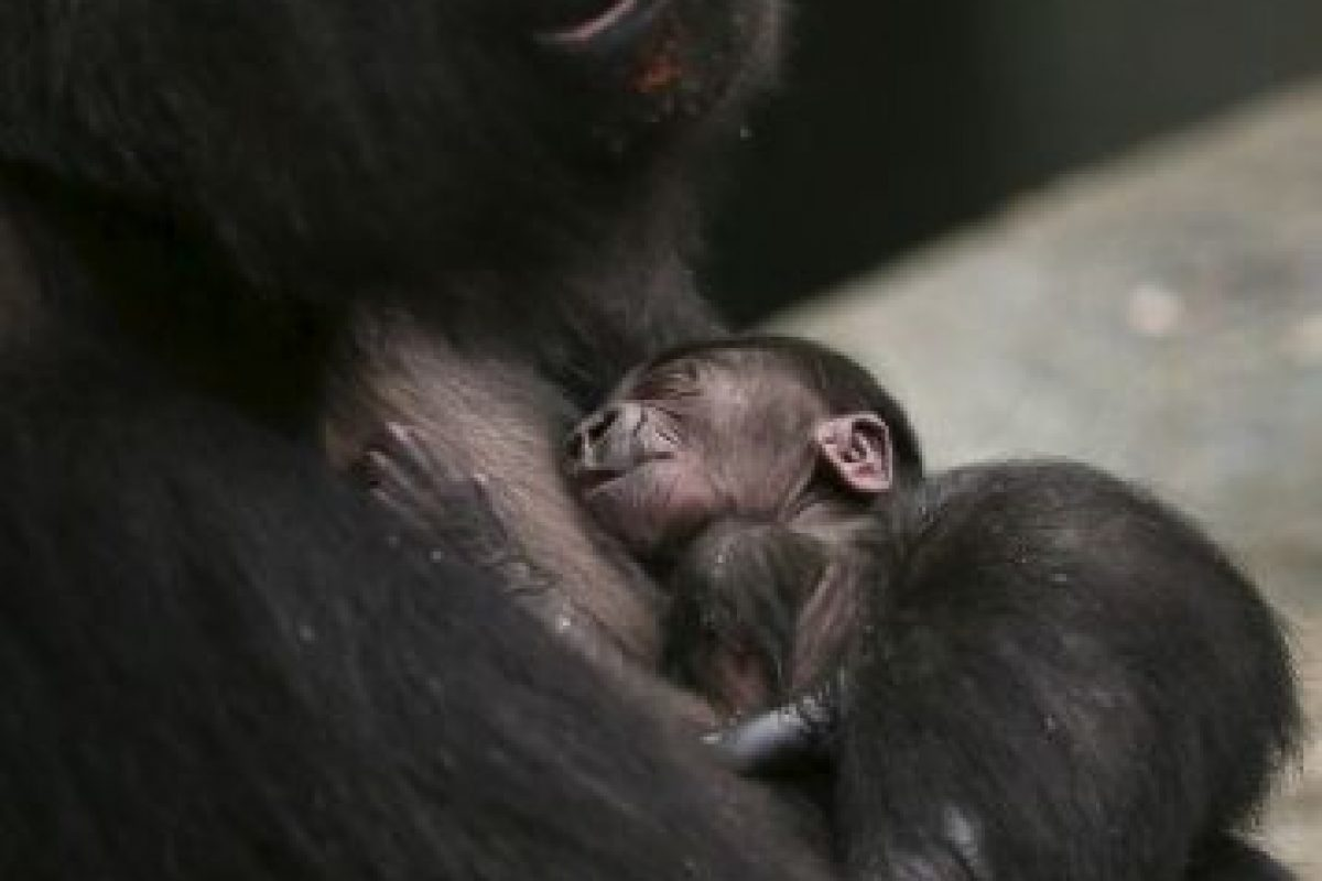 El 4 de noviembre de 2013 nació este otro pequeño gorila en Brookfield, Illinois, Estados Unidos Foto:Getty Images. Imagen Por:
