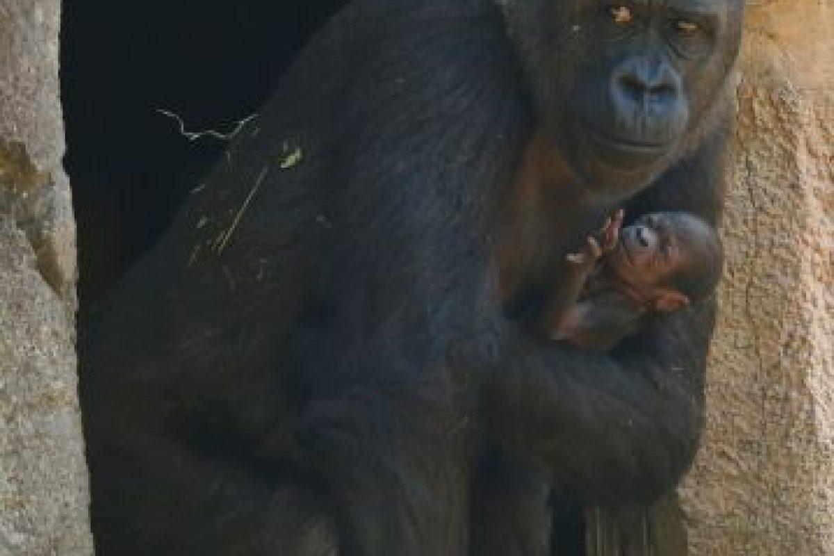 Es parte de la segunda generación de gorilas nacidos en este zoológico Foto:Getty Images. Imagen Por: