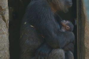 A fines de octubre nació este pequeño gorila en Sidney, Australia Foto:Getty Images. Imagen Por: